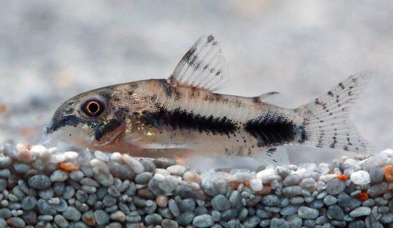 poisson Corydoras habrosus