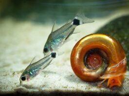 poisson Corydoras hastatus