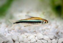 poisson Hyphessobrycon herbertaxelrodi