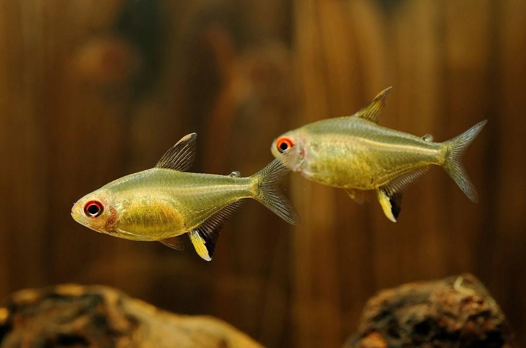 poisson Hyphessobrycon pulchripinnis