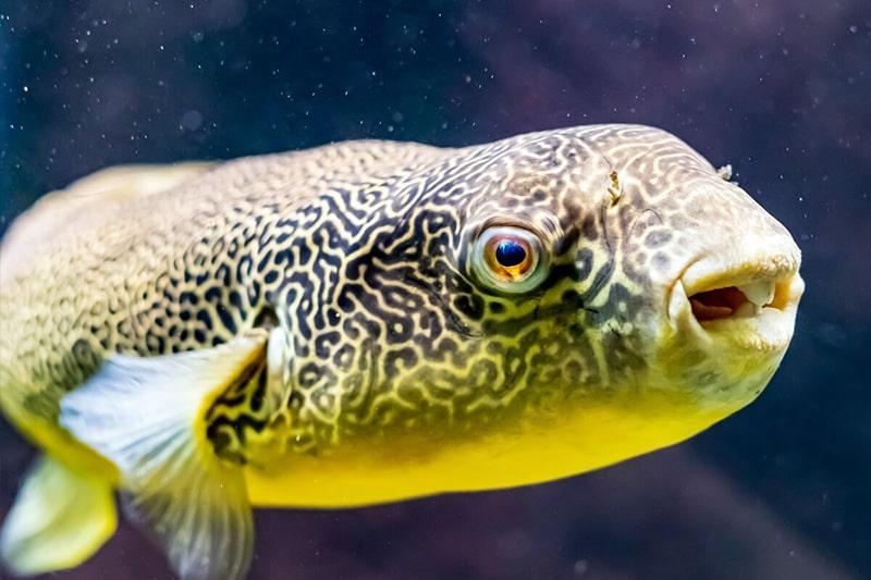 poisson Tetraodon mbu (2)