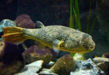 poisson Tetraodon mbu