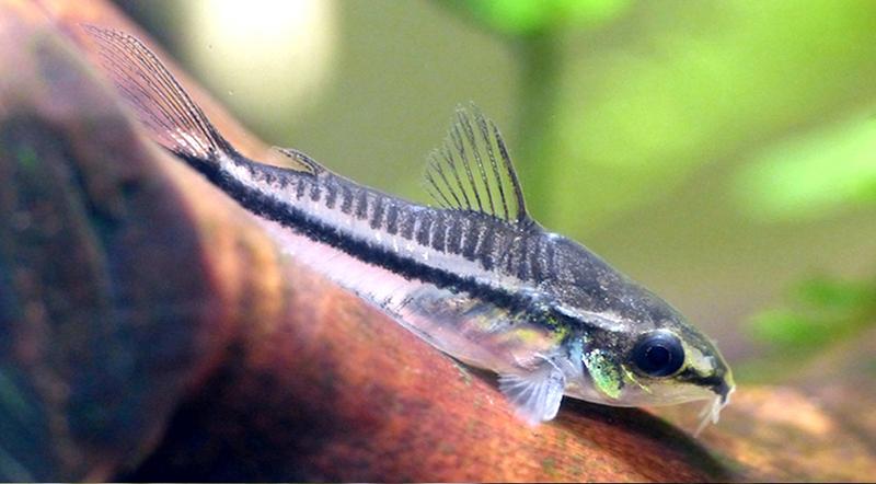 poisson corydoras pygmaeus (2)