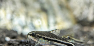 poisson corydoras pygmaeus